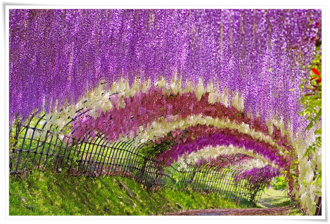 ทัวร์ญี่ปุ่น-BEAUTIFUL-WISTERIA-FESTIVAL-IN-FUKUOKA-5-วัน-3-คืน-(APR-17)