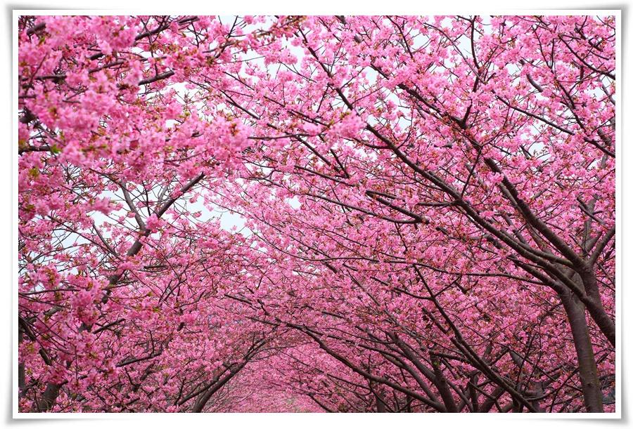 ทัวร์ญี่ปุ่น-FANTASY-WINTER-SAKURA-5-วัน-3-คืน-(FEB-MAR-17)
