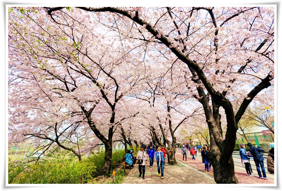 ทัวร์เกาหลี-CHERRY-SWEET-IN-KOREA-5D3N-(ICN03)(APR-MAY)