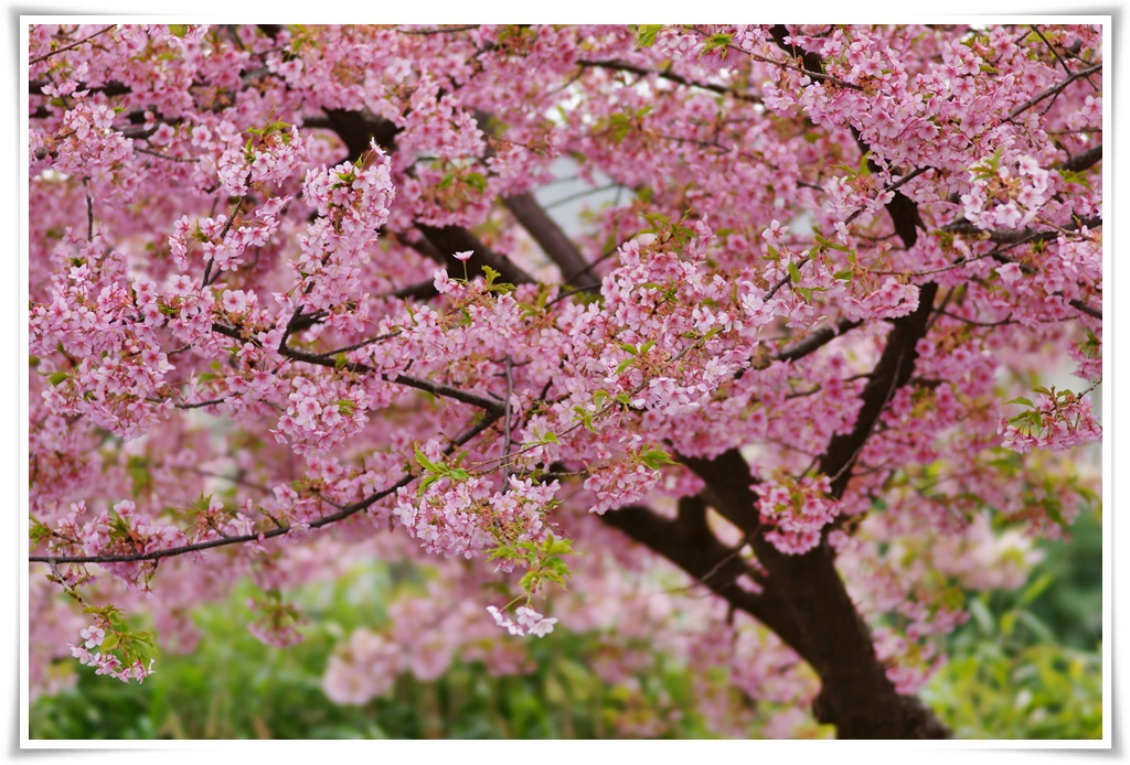 ทัวร์ญี่ปุ่น-SAKURA-FULL-BLOOM-IN-TOKYO-5D-3N-(MAR-APR18)-(NRT03)