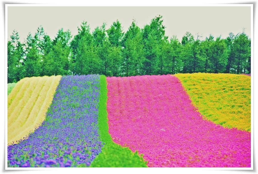 ทัวร์ญี่ปุ่น-FLOWER-FESTIVAL-IN-HOKKAIDO-6-วัน-4-คืน-(JUN-AUG-17)