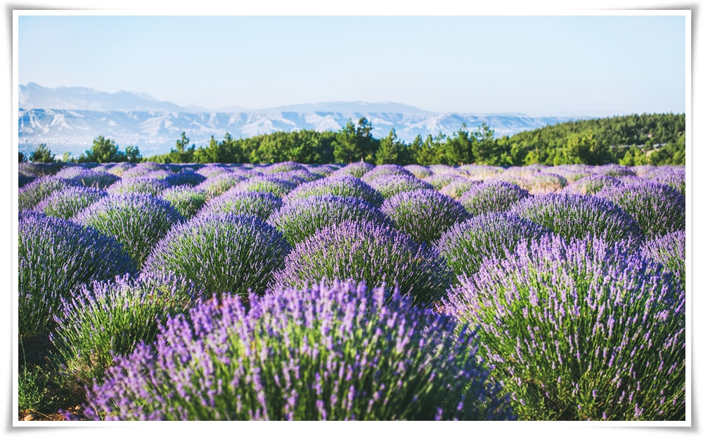 ทัวร์ตุรกี-AMAZING-TURKEY-LAVENDER-SEASON-9D-6N-(JUL-AUG18)