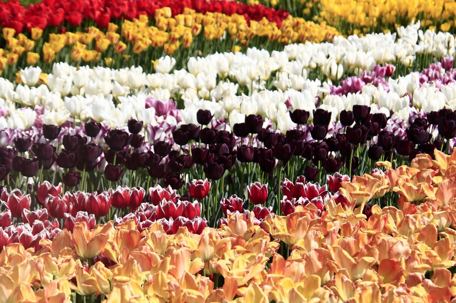 -ทัวร์เกาหลี-Wonderful-Tulip-6D3N-(APR-MAY19)-KXJ17